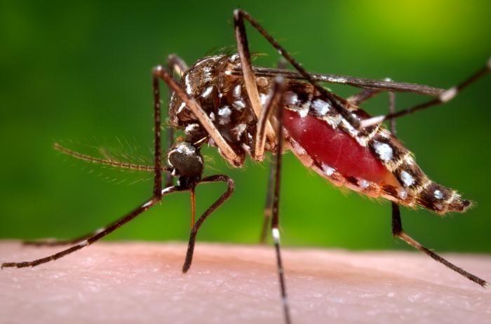 Mosquito da Dengue - imagem ilustrativa